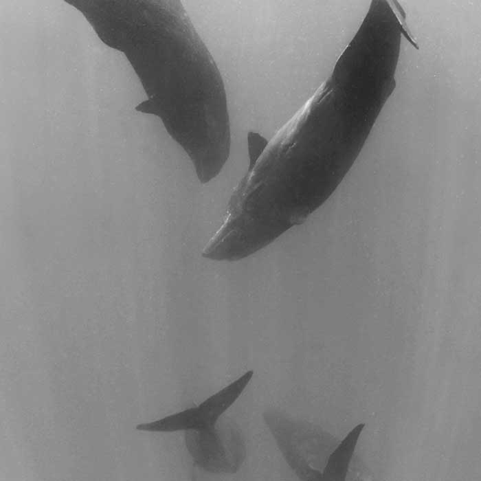 dream-dolphin-balaines-cachalots-mauritius