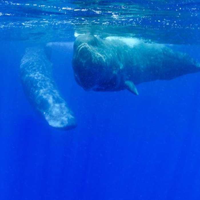 dream-dolphin-baleine-mauritius