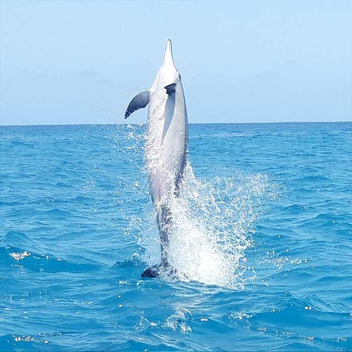 dream-dolphin-dauphin-saut-ocean-mauritius
